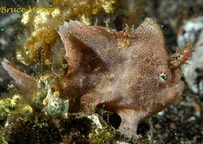 Cryptic Lembeh Frogfish