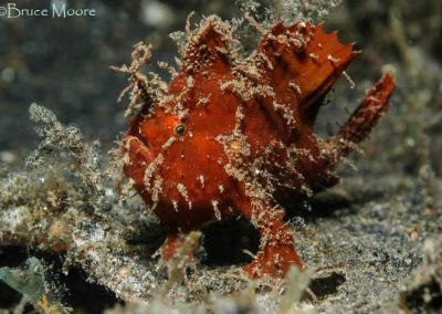 Lembeh Frogfish male