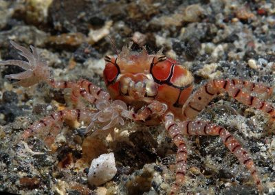 boxer-crab