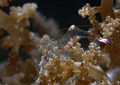 cleaner-shrimp-with-eggs