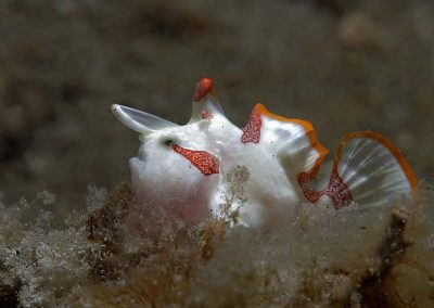clown-frogfish