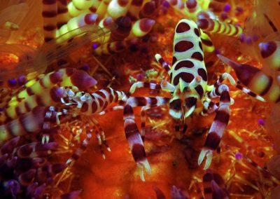 coleman-shrimp