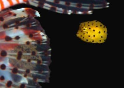 juvenile-boxfish-with-lionfish