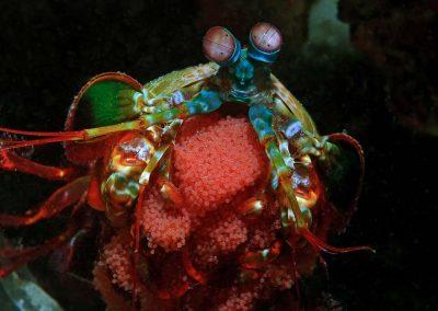 peacock-mantis-shrimp-with-eggs