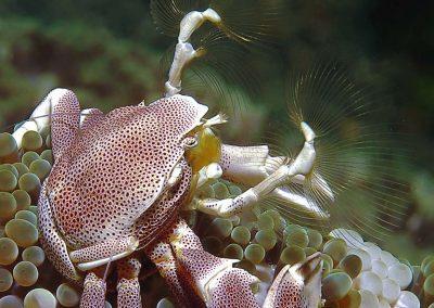 porcelain-crab-feeding