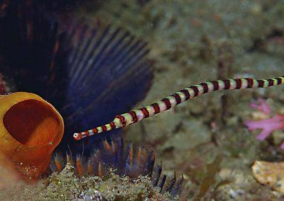 ringed-pipefish