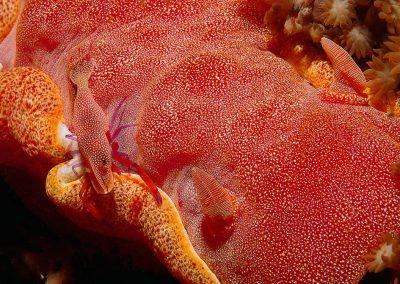 spanish-dancer-with-commensal-shrimp