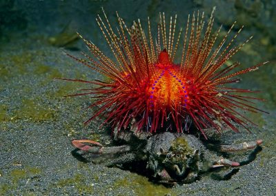 urchin-carrier-crab